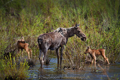 Maloit Park Moose (LindbloomPhoto) Tags: water cow colorado wildlife moose calf maloitpark