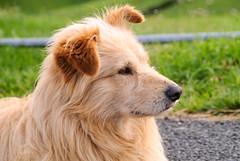DMP0046 (artzubi) Tags: portrait dogs euskalherria basquecountry txakurrak nafarroa baigorri erretratua