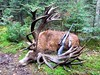 Quebec Elk & Red Stag Hunt 72