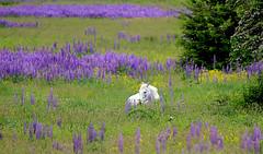 Green Pastures (Team Hymas) Tags: grass washington pasture lupine hockinson