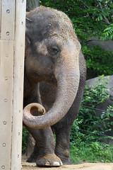 IMG_1459.jpg (Mark Dumont) Tags: elephant animals mammal zoo mark cincinnati dumont explored