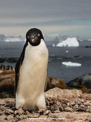 Smiling (Ignacio Ferre) Tags: bird penguin antarctica ave pjaro pingino antrtida pygoscelisadeliae adliepenguin pinginodeadelia