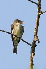 Olive-sided Flycatcher (johnip86) Tags: bird nature outdoors evening spring warm sunny rare humid olivesidedflycatcher statebotanicalgardensofgeorgia