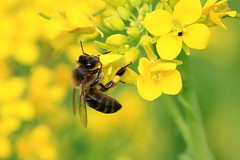 A abelha (aclopes50) Tags: macro natureza vermelho abelha amarelo beleza flôres botânica côr