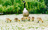 Gaggle of goslings (Kashif Haque) Tags: baby london duck duckling chicks regentspark