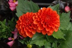 Wonderful Dahlia Flowers (Explored) (murtphillips) Tags: