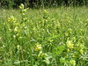 Yellow Rattle in meadow DE20090604Moths0007 (Pitzy's Pyx, keep snapping away!.) Tags: olympusc5050z scoopt duckendnr