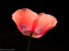 Against The Light (David S Wilson) Tags: uk flowers england flower ngc ely fens 2014 flowersplants davidswilson mzuiko14150mmlens lightroom5 olympusomdem5