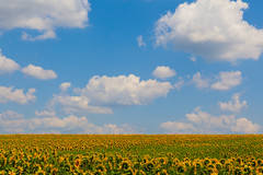 """Sunflowers in Moldova • <a style=""""font-size:0.8em;"""" href=""""http://www.flickr.com/photos/55503400@N08/14403679389/"""" target=""""_blank"""">View on Flickr</a>"""