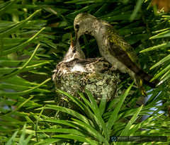 2014-05-30 Vancouver Anna's Hummingbird Nest-10 (Michael Schmidt Photography Vancouver) Tags: family 2 two orange brown white canada black tree green bird yellow closeup vancouver mouth grey bill moss beige babies nest feeding head britishcolumbia spiderweb mother tiny newborn nectar chicks perched iridescent vancouverbc fledgling pictureperfect helpless hatched conifer territorial insectivore sexualdimorphism pinfeathers permanentresident forkedtail hybridization mediumsized annashummingbirdcalypteanna michaelschmidtphotographyvancouverbc wwwmichaelschmidtphotographycom httpwwwflickrcomphotosdmichaelschmidtsets dmschmidtshawca httpswwwfacebookcommsphotographyvancouver httpswwwthisiswhatiseeca michaelmspixca salesmspixca httpsplusgooglecomb115575222591610367933115575222591610367933posts httpstwittercommspixvancouver extendabletongue norfolkislandpinearaucariaheterophylla