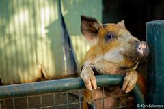 This Little Piggy... (kensol72) Tags: 35mm pig fuji farm australia victoria fujifilm fujinon xf balnarring xe2 unlimitedphotos