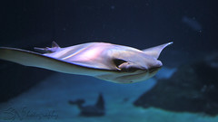 DSC_1204 (S.N_Photography) Tags: newjersey stingray camden adventureaquarium