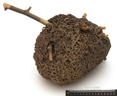Formicidae Latreille, 1804