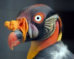 King vulture (James L Taylor) Tags: