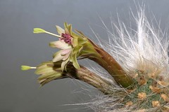 Oreocereus pseudofossulatus (Pterodactylus69) Tags: cactus flower fleur cacti flor cactaceae blte kaktus herrenhusergrten herrenhausen berggarten herrenhausengardens