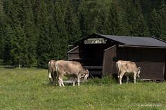 DSC03878_s (AndiP66) Tags: mountains alps austria tirol sterreich cows sony berge alm alpha khe seefeld telfs andreaspeters 77m2 a77ii ilca77m2 77ii 77markii wildmooser slta77ii