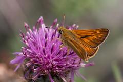 Rostfarbener Dickkopffalter (bohnengarten) Tags: mountain alps butterfly eos schweiz switzerland tour swiss alpen falter wallis wwf valais schmetterling zeneggen 50d visp dickkopffalter rostfarbener