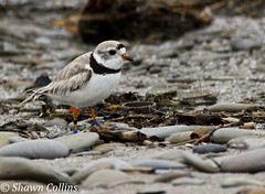 Piping Plover (Shawn Collins Photography) Tags: ohio bird beach birds canon lakeerie migration plover pipingplover shorebirds plovers rarebirds 70d pipingplovers endangeredbirds canon70d conneautharborohio