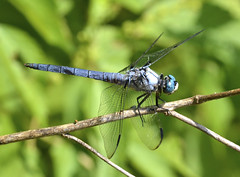 Great Blue Skimmer - Libellula vibrans