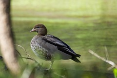 Australian Wood Duck (Derek Midgley) Tags: wood bird water duck stream australian australia unknown shepherdsbush chenonetta jubata t7123521