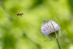 Leavin' on a jet plane... (Carolyn Lehrke) Tags: usa nature fauna leaving flying flora bees insects explore wv jetplane commonteasel nikond3200 greenbriercounty ronceverte