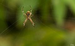 Weaver (SlocumPhotography) Tags: spider web balboapark orbweaver 200mm samsungnx