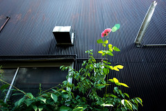 真盛町路地薔薇 (m-louis) Tags: house plant flower green rose japan alley kyoto gardening explore 京都 薔薇 路地 roji 10000views kamishichiken 100faves 上七軒 真盛町