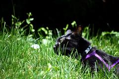 Kai (heartinhawaii) Tags: pet cat blackcat kai kaimana catportrait petphotography catoutside catingrass nikond3100