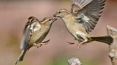 DSC_2674 (sylvettet) Tags: birds oiseaux sparrows moineaux action extérieur 2017 nature querelle quarrel