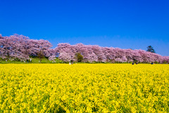 _DSC4452 (sayo-tsu) Tags: sakura cherryblossom saitama gongendopark sattecity 桜 菜の花 お花見 権現堂 埼玉県