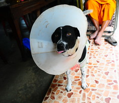 ,, 2-Tone ,, (Jon in Thailand) Tags: 2tone dog cone conehead monk k9 jungle nikon nikkor d300 175528 eyes nose tongue paws feet legs blue orange littledoglaughedstories