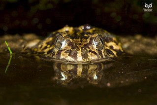 Sapo-de-unha-negra, Iberian spadefoot toad(Pelobates cultripes)