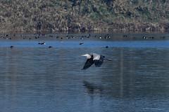 The Grace Of A Grey Heron_GD_GDJ_2506 (Gaurav Dinesh) Tags: nikond500 nikkor200500 outdoors birdsinflight handheld yamunabiodiversitypark heron greyheron graceful