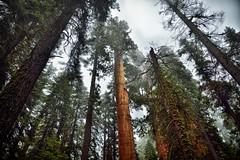 Redwoods, Evergreens, and Sequoias While Strolling on the General Grant Sherman Trail (Sequoia National Park) (thor_mark ) Tags: nikond800e day8 triptopasoroblesandyosemite sequoianationalpark lookingse lookingup capturenx2edited colorefexpro sequoiaandkingscanyonnationalparks unescosequoiakingscanyonbiospherereserve sequoiakingscanyonbiospherereserve giantsequoias outside trees hillsideoftrees evergreens landscape nature talltrees talltreesallaround sequoiadendrongiganteum lookingupatsky lookingupatskythroughtrees lookingupatskythrutrees lookinguptosky overcast redwoods pacificranges sierranevada sequoiasierranevada westernsequioakingscanyonarea walktothegeneralshermantree thegeneralshermantrail project365 portfolio canvas california unitedstates
