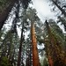 Redwoods, Evergreens, and Sequoias While Strolling on the General Sherman Trail (Sequoia National Park)