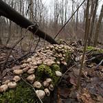Soggy Mushrooms on Mossy Log thumbnail