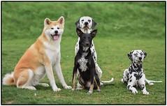 my Love dogs 💖 (stphanielegay) Tags: pongo mustang yume fiasko dogs posingdog nikond7200 nikon 50mmf18d dogphotography dalmatian akitainu