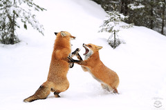 The Foxtrot (Megan Lorenz) Tags: fox redfox animal mammal snow snowing winter breeding behavior inseason heat nature wild wildlife wildanimals two pair couple algonquiinprovincialpark ontario canada mlorenz meganlorenz