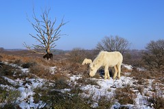Wild Icelandic horses grazing at the Veluwezoom (B℮n) Tags: veluwezoom national park posbank rheden hiking walk red deer wild boar horse bike netherlands holland gelderland oldest forests san drift badget marten pine wildlife mating season winter roaring parks walking path snow animals observation posts veluwe heathland heide highland cattle wandelen weather clear blue sky reserve bossen ijslandse paarden horses scottish highlanders icelandic deers wilderness 50faves topf50