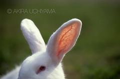 ZOO0119-2 (Akira Uchiyama) Tags: 動物たちのいろいろ 耳 耳ウサギ