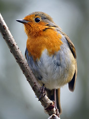 Rockin' Robin (Mark BJ) Tags: daisynook countrypark fairbottombranch valleyaqueduct canal robin erithacusrubecula redbreast manchester oldham ashtonunderlyne branch eurasianrobin