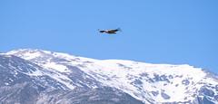 Buitre leonado (Alberto Nalda) Tags: picosdeeuropa montaña buitre buitreleonado animal vuelo carroñero