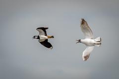 Attack ! (DP the snapper) Tags: lapwing worcestershirewildlifetrust birds uptonwarren flight blackheadedgulls attack