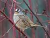 White-crowned Sparrow (Zonotrichia leucophrys) (NigelJE) Tags: whitecrownedsparrow sparrow zonotrichia zonotrichialeucophrys americansparrow emberizidae nigelje kelowna munsonpond