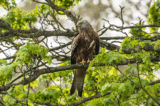 Red Kite in the tree by the 14th tee D50_8439.jpg