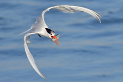 catch of the day (bmse) Tags: elegant tern bolsa chica fish fishing bmse salah baazizi wingsinmotion canon 7d2 400mm f56 l