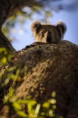 Hello Human (_Hadock_) Tags: koala coala animal nature hide wallpaper walpaper arbol seek ears look mirada green tree blue sky curious australia nikon d750 tamron 70300 vc di greatoceandrive greatoceanroad great ocean road creative commons comons full hd fullhd highresolution highres free