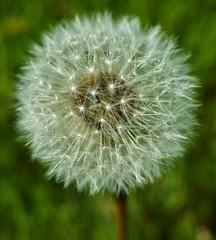Сколько времени мистеру волку ? (DawnWarrior) Tags: dandelion macro closeup spring wales sonyrx10 dawnwarrior seeds