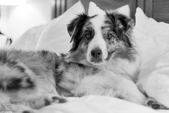 11/52 - And... where are you guys going to sleep? (Jasper's Human) Tags: 52 weeks for dogs 52weeksfordogs australian shepherd aussie dog bed hotel