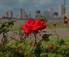 Rose (davidwilliamreed) Tags: red rose plant bloom blossom nature vivid color crescentpark neworleansla dof